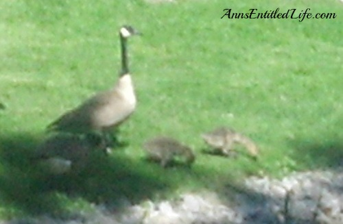 The Geese... They Are Everywhere!