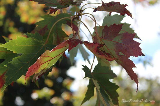 Autumn Leaves - New York State