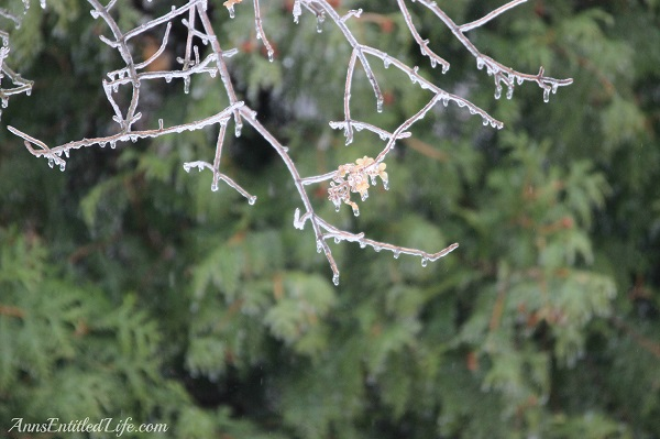 Close-up of frozen rain on small tree, 9