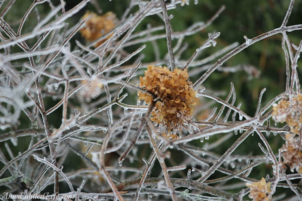 Close-up of frozen rain on small tree, 4