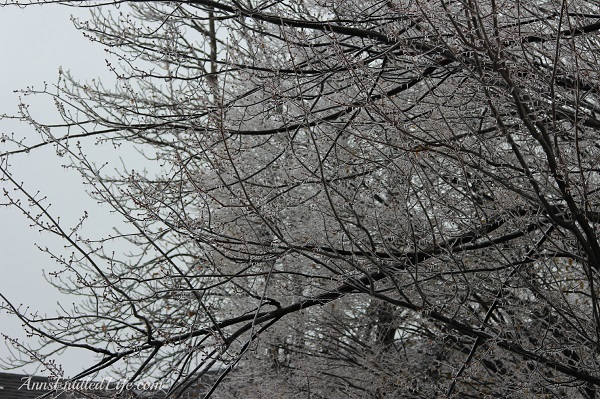 Frozen rain on large trees, western New York, December 2013, 13