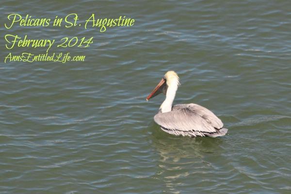Pelicans in St. Augustine