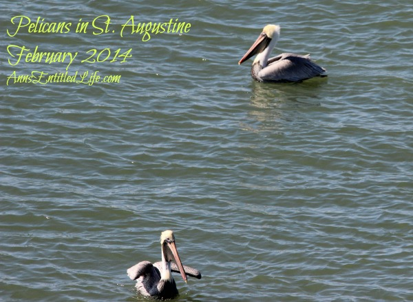 Pelicans in St. Augustine