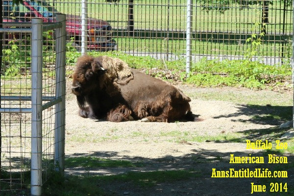 Buffalo Zoo Bison