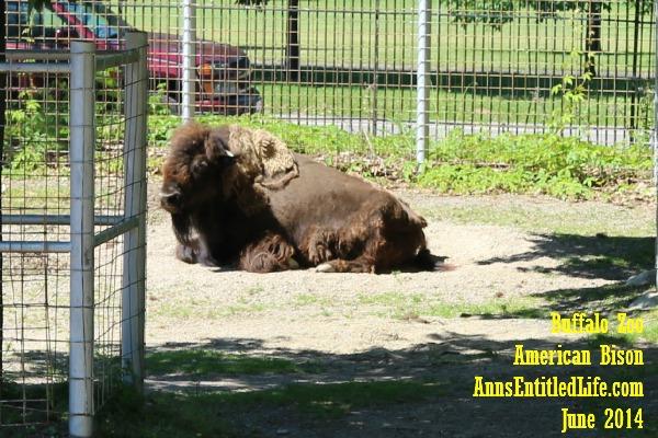 Buffalo Zoo Bison