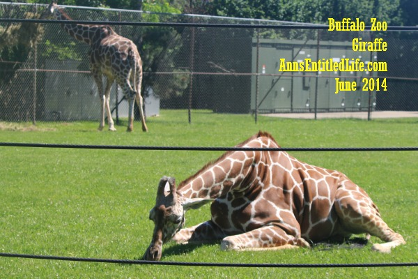 Buffalo Zoo Giraffe