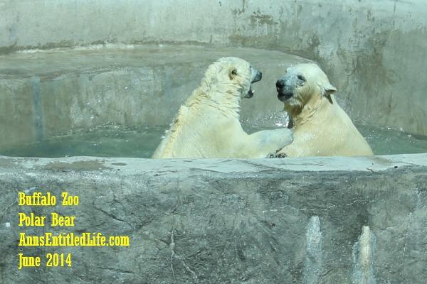 The Buffalo Zoo Polar Bear