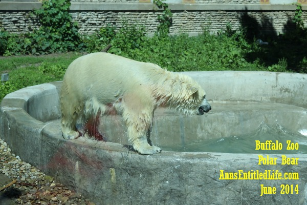 The Buffalo Zoo Polar Bear