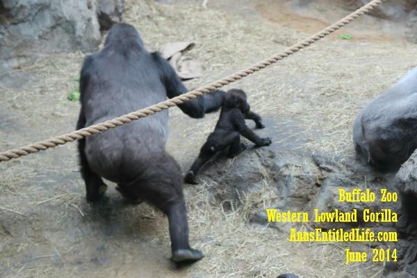 Buffalo Zoo Gorillas