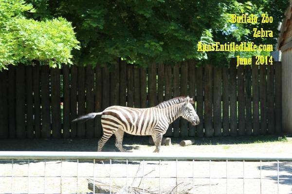 Buffalo Zoo Zebra