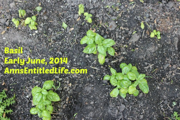 Basil Plants Early June, 2014