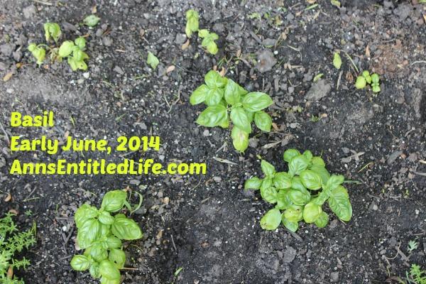 Basil Plants Early June, 2014