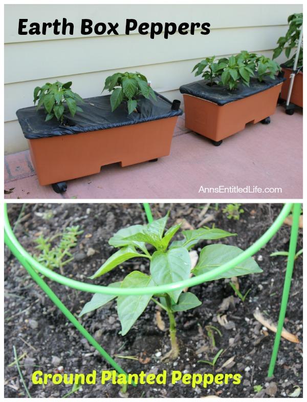 Pepper Plants Early June, 2014