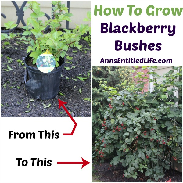 how to grow blackberry bushes. Black Bedroom Furniture Sets. Home Design Ideas