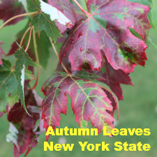 Autumn Leaves – New York State