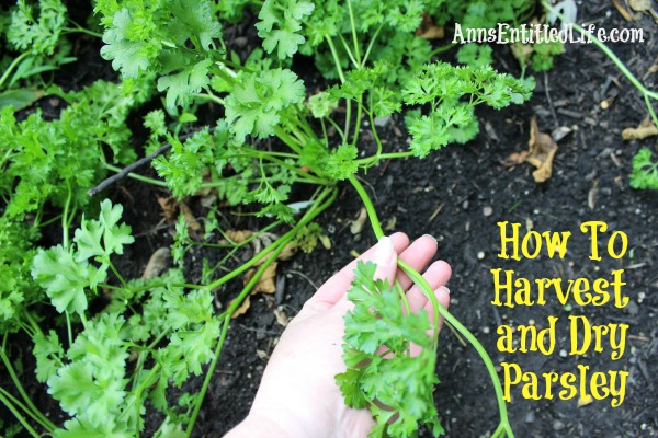 how to grow lots of parsley