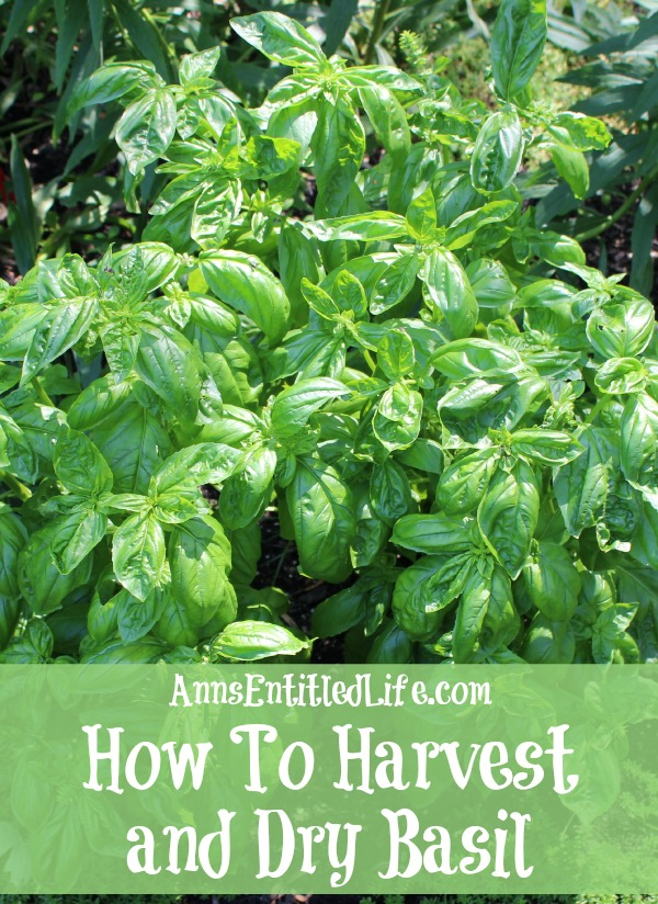 How To Harvest and Dry Basil. Basil is a great herb to grow that can be harvested throughout the summer growing season. Here are step by step instructions to harvesting, and drying, basil.