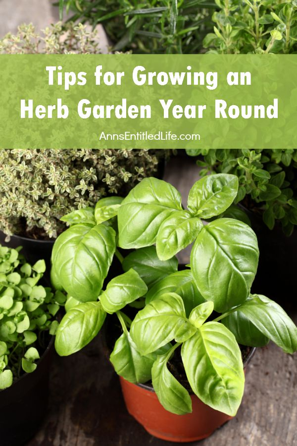 Tips for Growing an Herb Garden Year Round. Fresh herbs lend so many flavors to your foods, and these tips for growing an herb garden year round are perfect for making that a possibility any time. Herbs are one of the easiest things we can grow at home.  Not only are herbs easy to tend to, they are great for more than just seasoning food.  Their fragrances are perfect for aromatherapy and in some instances perfect for getting rid of pesky bugs and critters from around your home.