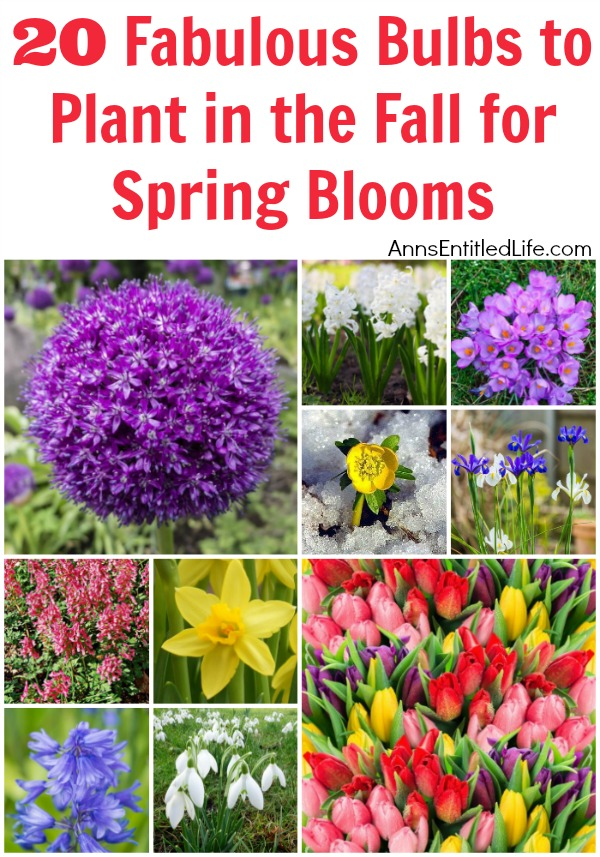 20 Fabulous Bulbs to Plant in the Fall for Spring Blooms. When people think of spring flowers daffodils and hyacinths immediately come to mind. But while those two bulb flowers are beautiful, they are just the beginning of the many different types of flowering bulbs available to plant in the fall for spring blooms. This list of 20 fabulous bulbs to plant in the fall for spring blooms includes photos of the flowers, their US Hardiness Zone and what types of wildlife they are resistant to.