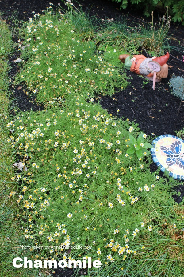 Chamomile growing in the ground