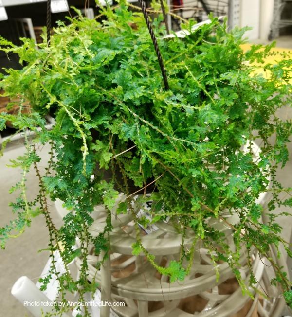 rainbow moss plant hanging basket
