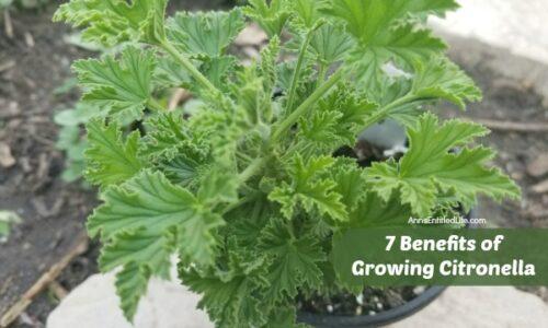 7 Benefits Of Growing Citronella
