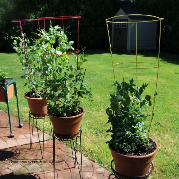 Spring Container Gardening. Experimenting with container gardening. Various types of peas, each different type in a single pot.