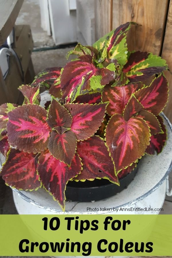 10 Tips For Growing Coleus. Sunny Or Shady, You Want Your Garden To Be