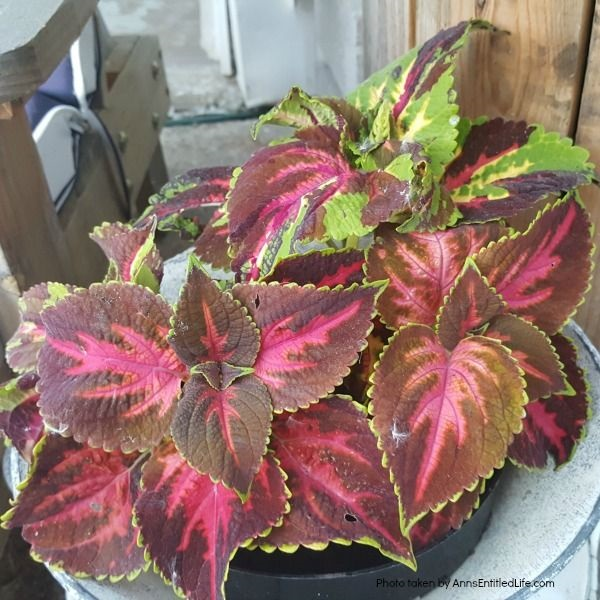 10 Tips for Growing Coleus. Sunny or shady, you want your garden to be full of vibrant colors, and coleus plants deliver that impact! Coleus is one of those plants that can thrive in many conditions, so being familiar with how to grow coleus is smart. Read here for my 10 Tips for Growing Coleus, and see how easy it can be to enjoy this vibrant plant.