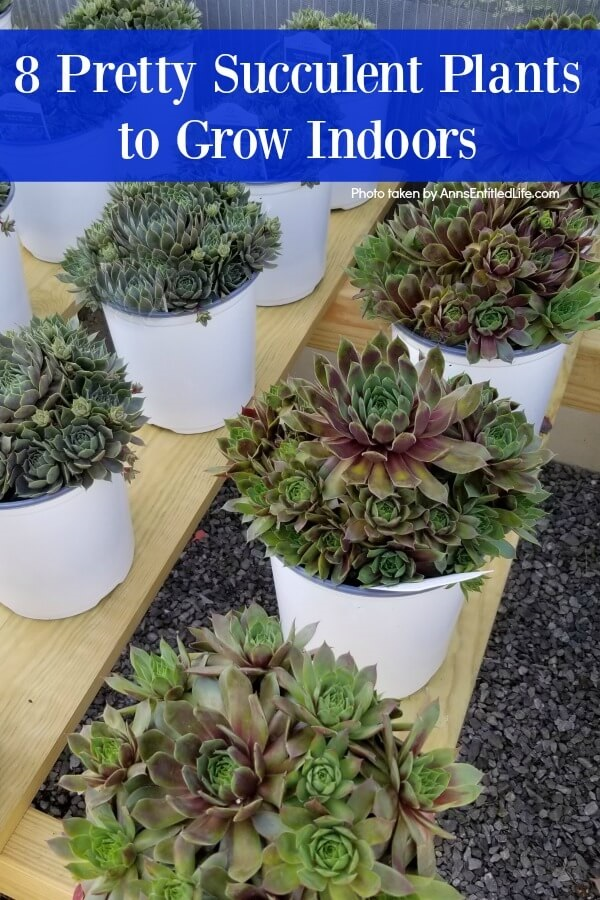 8 Pretty Succulent Plants to Grow Indoors. Growing succulents indoors is easy! Succulents are a wonderful plant to grow in your home. In addition to being tolerant of a variety of temperatures and lighting situations, succulent houseplants are simple to grow. Whether you are searching for a statement plant for your kitchen or a few smaller, ornamental succulent varieties to add to your home's décor, consider planting a few of these pretty succulent plants in your home for year-round enjoyment.