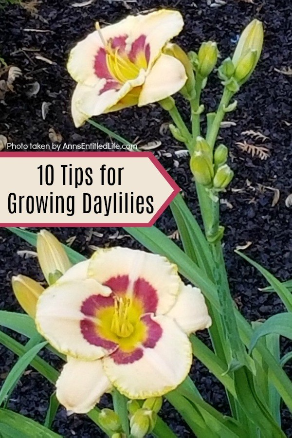 10 Tips for Growing Daylilies. If you are a gardener on a budget, daylilies are one of the best plants you can grow. A small investment in daylilies will give you blooms for many years to come, and these quick growing plants can fill your yard up fast. Daylilies are fairly simple to grow too. Look below at some helpful tips for growing daylilies, and see why this is a plant you should add to your yard this year!