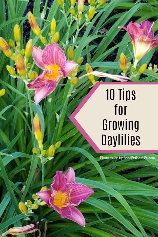 10 Tips for Growing Daylilies. If you are a gardener on a budget, daylilies are one of the best plants you can grow. A small investment in daylilies will give you blooms for many years to come, and these quick-growing plants can fill your yard up fast. Daylilies are fairly simple to grow too. Look below at some helpful tips for growing daylilies, and see why this is a plant you should add to your yard this year!