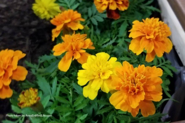 Marigold Flowers: 7 Reasons You Should Grow Marigolds This Year. Growing marigolds offers all sorts of benefits to you and your garden, so they should be considered when planning your yearly landscape. Look below at the 7 reasons you should grow marigolds this year and see why these colorful flowers are a must have for any yard.