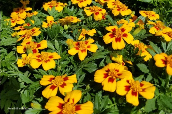 Marigold Flowers: 7 Reasons You Should Grow Marigolds This Year. Growing marigolds offers all sorts of benefits to you and your garden, so they should be considered when planning your yearly landscape. Look below at the 7 reasons you should grow marigolds this year and see why these colorful flowers are a must-have for any yard.