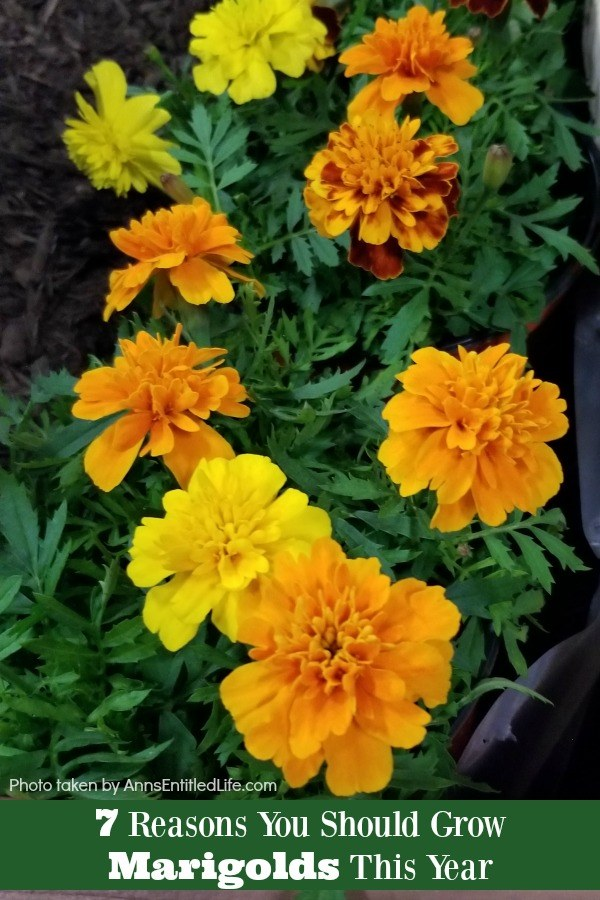 Various yellow and orange marigolds in a garden