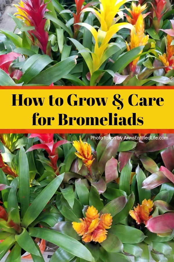 How to Grow and Care for Bromeliads. Bromeliad plant care and growth; how to grow and care for Bromeliads! Learn how to take care of your bromeliad plant and how to maintain a long lasting collection of bromeliad plants with fairly low maintenance using the tips in this post.