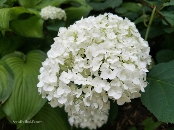 Hydrangea Flowers: 7 Tips for Growing Hydrangeas. To get started with, or to perk up existing hydrangeas in your garden, consider these useful tips for growing hydrangeas. This advice for caring for hydrangeas can help you keep these beauties looking full, colorful, and in bloom all season.