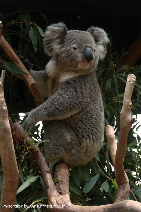 When Not to Go to Australia, by AnnsEntitledLife.com Koala Bear in a tree.