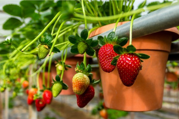 5 Berries You Can Grow In Pots. Berries are perfect for growing in pots, because they do not require a great deal of space and can easily be contained and managed this way. Take a look at this list of five berries you can grow in pots, and see how simple it can be to have fresh berries at your fingertips all season long.