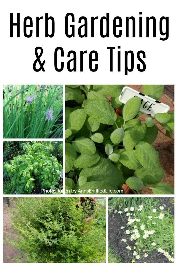 A collage of fresh, in the garden herbs including: sage, chives, basil, oregano, and chamomile