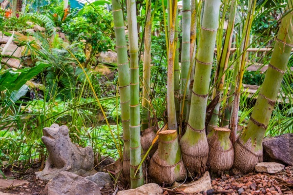 Bamboo Gardening: How to Grow and Maintain Bamboo Plants. Learn how to grow bamboo with this comprehensive guide. Step-by-step instructions and wonderful tutorials will answer your pressing questions on how to grow, maintain, and harvest bamboo plants.