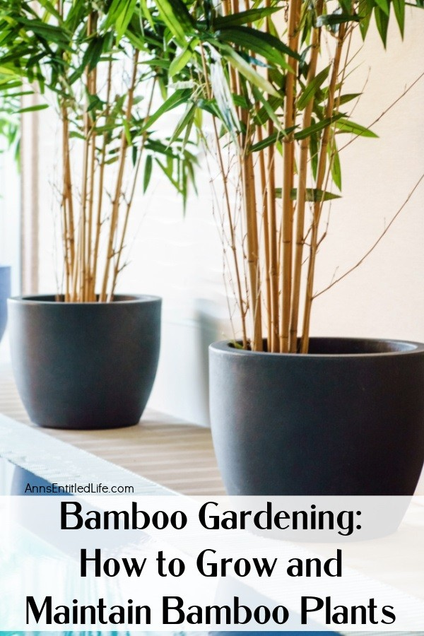 2 pots filled with clumping bamboo plants