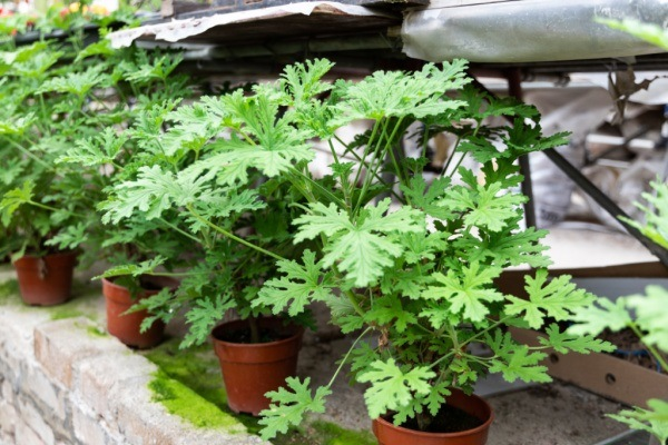 7 Benefits of Growing Citronella. When you hear the word citronella, you probably think of citronella candles or citronella oil and what a great insect repellent citronella is. But before either of those things can be made, you first have to grow a citronella plant - an easy-to-grow garden plant that has many benefits! Below are my 7 benefits of growing citronella. See why the citronella plant should be on your growing list this season!