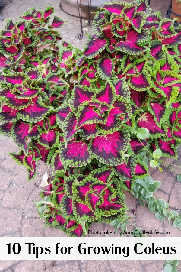 a coleus plant in a garden container on a patio
