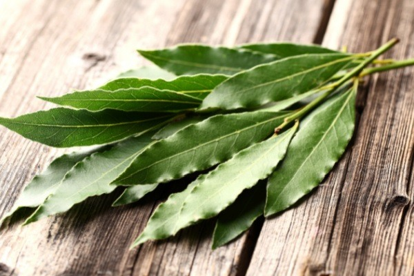 How to Grow Bay Leaves (bay laurel). Many people are surprised to discover that bay leaf does not come from a small herb like most other herbs and spices they use in their kitchen. Bay is a useful woodsy herb that adds flavor to savory dishes and helps to repel pests in your home. Bay is easy to grow and harvest.