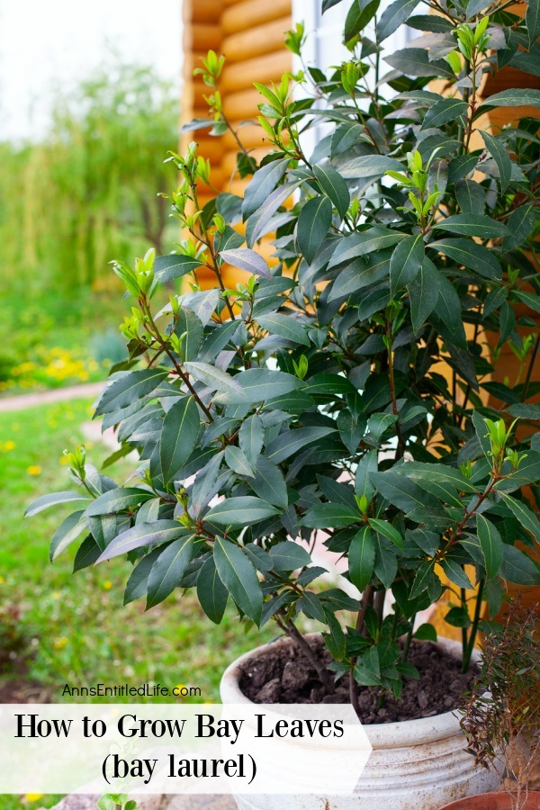 A pot of bay leaves growing on an outdoor patio