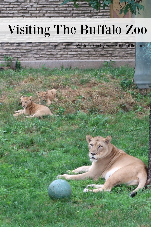 Two lion cubs are in the upper portion of the photo, mama is forward near a play ball